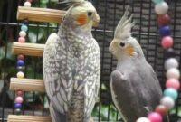 cara-merawat-burung-parkit