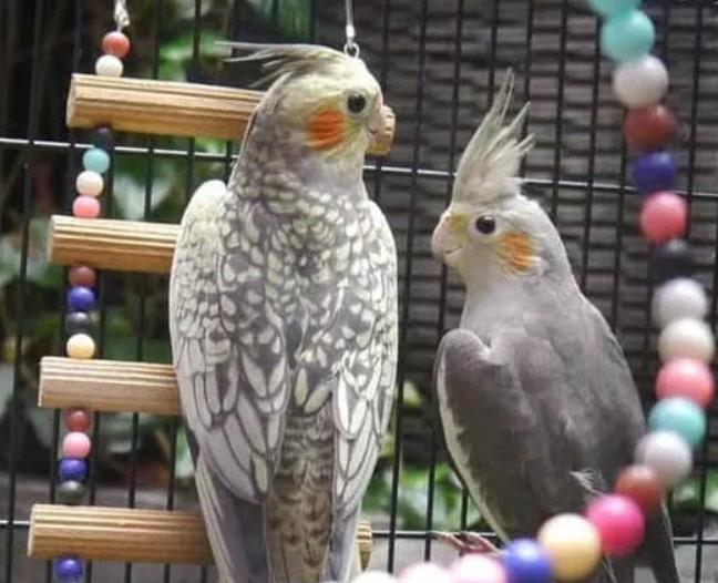 Tips Mudah Cara Merawat Burung Parkit Agar Cepat Gacor
