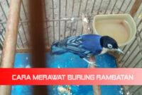 cara-merawat-burung-rambatan