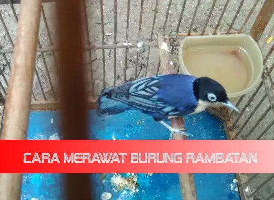 Tips Mudah Cara Merawat Burung Rambatan Biar Cepat Gacor Bocor