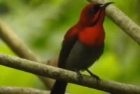cara-merawat-kolibri-sepah-raja