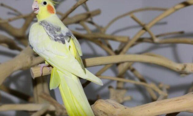 gambar-burung-parkit