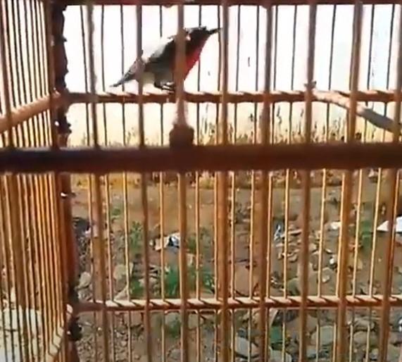 mandi-dan-jemur-burung-kolibri-sepah-raja