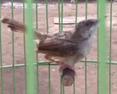 penjemuran-burung-ciblek