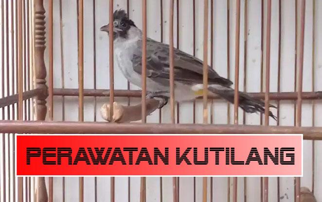 Tips Perawatan Burung Kutilang Agar Cepat Gacor Setiap Harinya