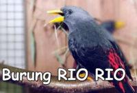 burung-rio-rio