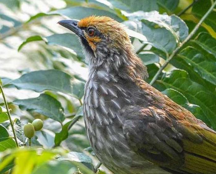 6 Jenis Burung Mahal Di Indonesia Di Tahun 2020 Harga Terbaru