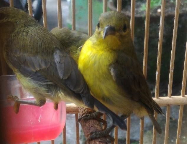 harga-burung-kolibri-kelapa