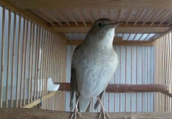 masteran-burung-sikatan-londo-mp3