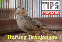 perawatan-burung-branjangan