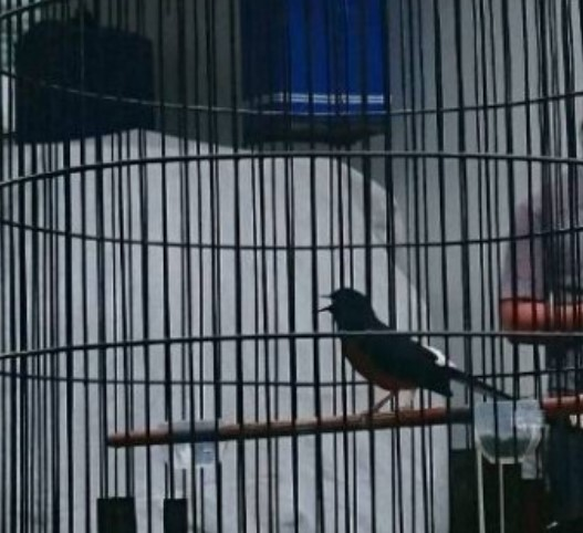 tips-perawatan-burung-juara-kitaro