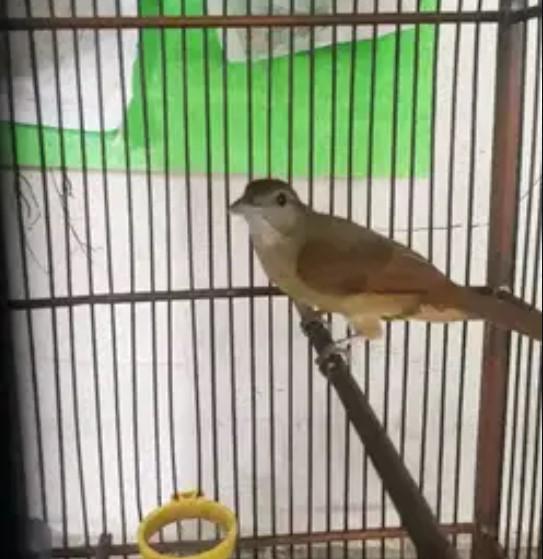 burung-kapas-tembak-bahan
