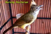 burung-masteran