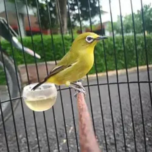 burung-pleci