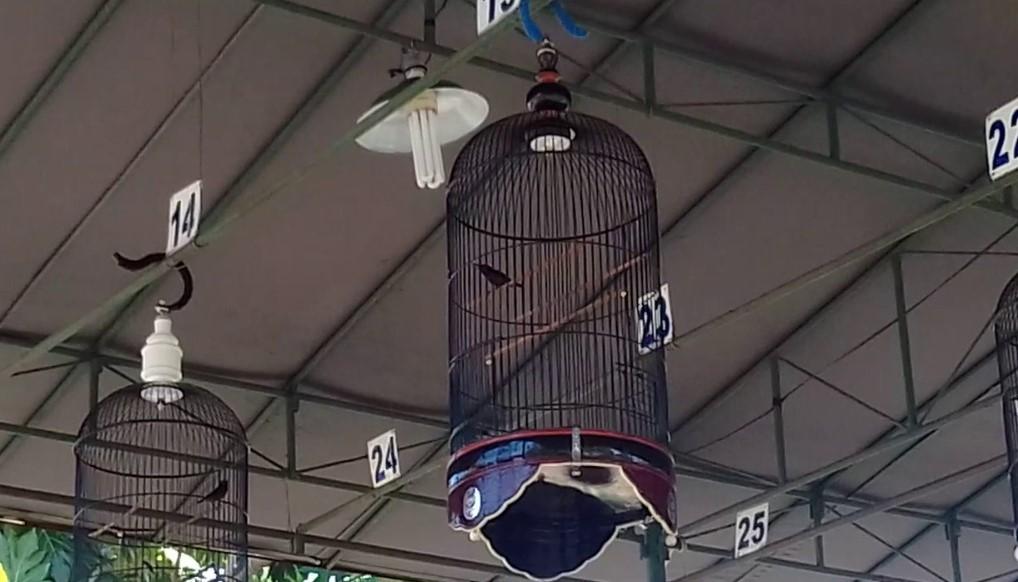 kontes-kolibri-ninja