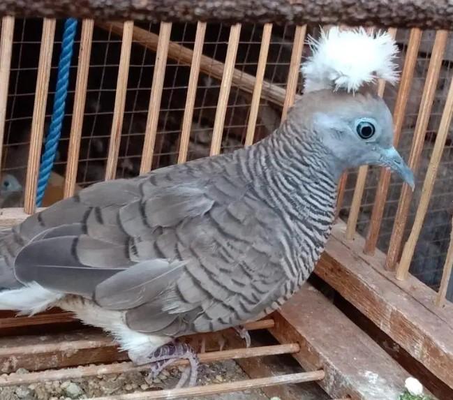 mitos-burung-perkutut