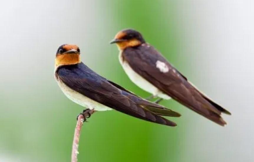 mitos-burung-walet