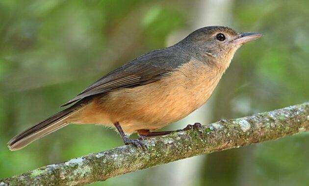 Burung-Little-Shrike-Thrush