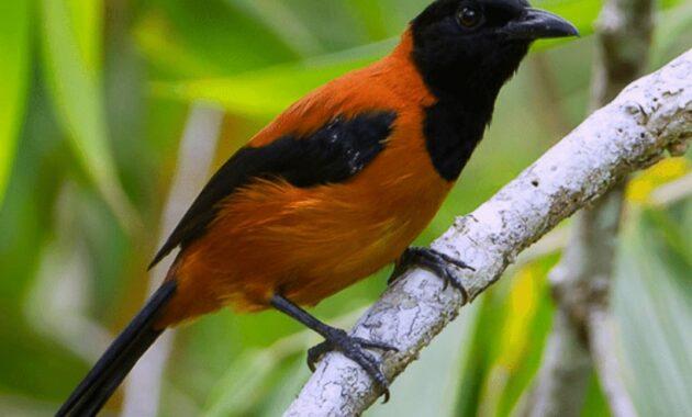 Burung-Pitohui