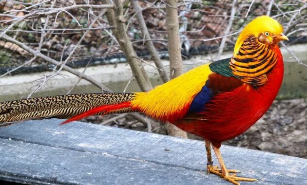 burung-golden-pheasant