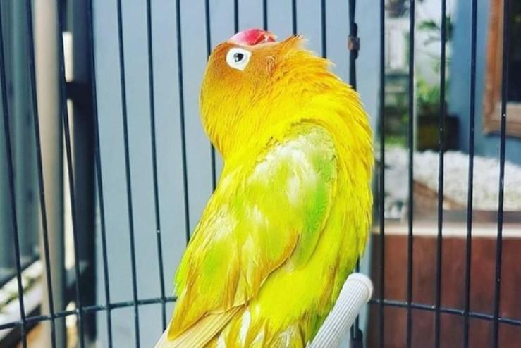 burung-lovebird