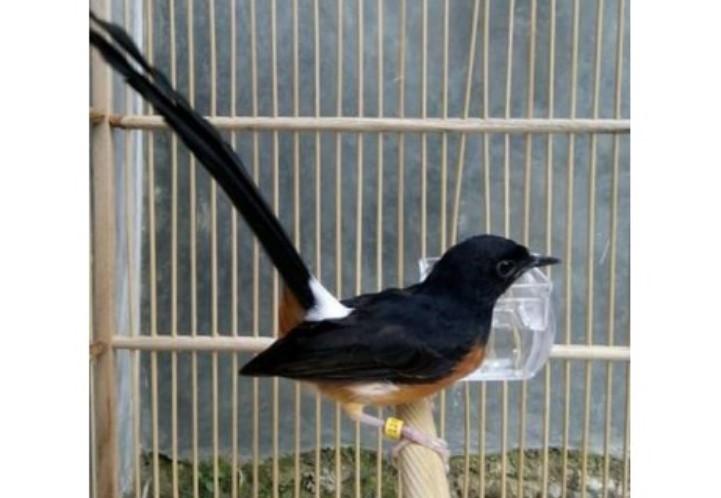 Trik Mudah Pahami Karakter Burung Kicau Dengan Cepat