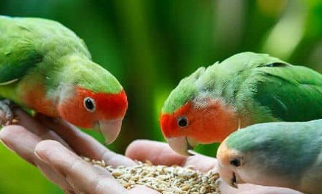 jahe-bagus-untuk-lovebird