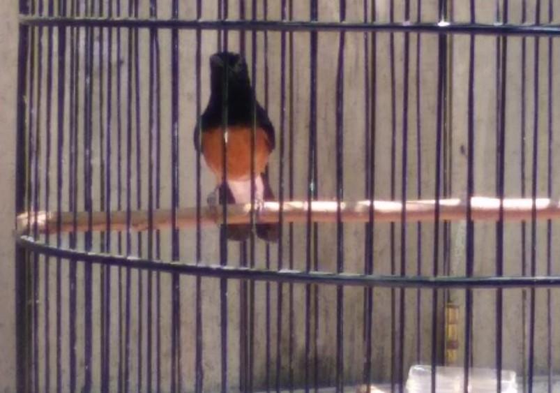 8 Tips Burung Kicau Dengan Perawatan Yang Tepat Supaya Gacor