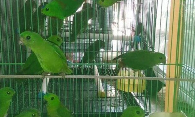 anakan-burung-serindit