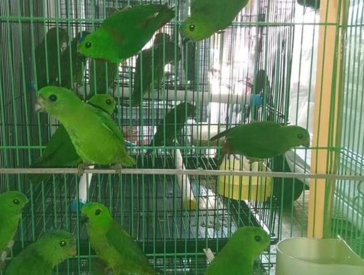 Cara Mudah Ternak Burung Serindit Agar Cepat Sukses