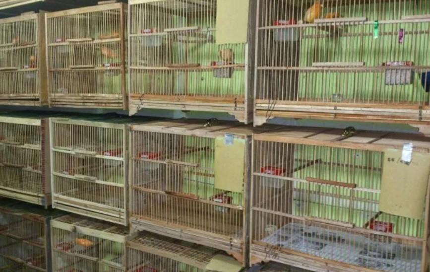 Melihat Peluang Bisnis Burung Kenari Yang Sangat Menjanjikan