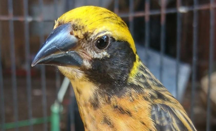 Tips Mudah Cara Merawat Burung Manyar Agar Cepat Gacor