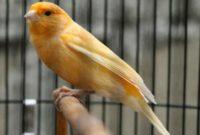 manfaat-burung-kenari