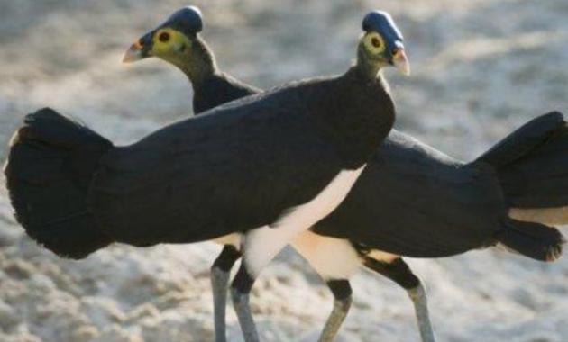 Burung-Maleo