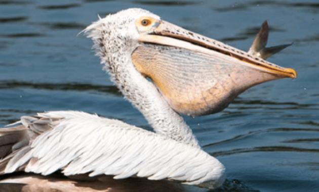 Burung-Pelikan
