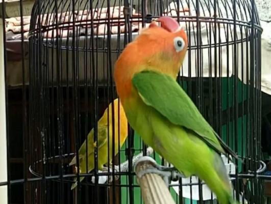 lovebird-ngekek-single-fighter-gacor