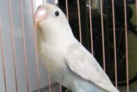 perawatan-lovebird-single-fighter