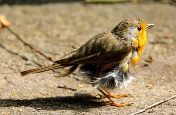 burung-tiba-tiba-lemas