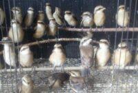 makanan-burung-pentet