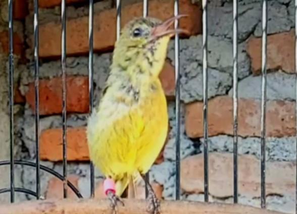melatih-mental-kolibri-ninja