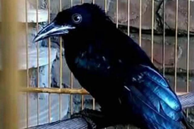 mitos-burung-srigunting