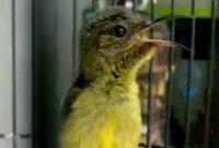 perawatan-kolibri-ninja