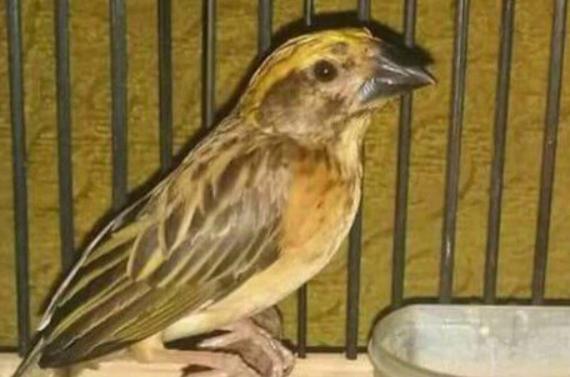 Daftar Harga Pasaran Burung Manyar Terbaru Terlengkap 2021