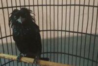 makanan-burung-srigunting