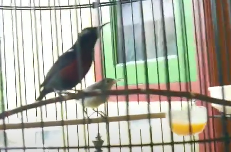 makanan-kolibri-ninja