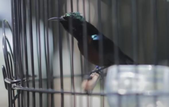 suara-tembakan-kolibri-ninja