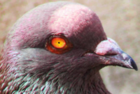 cara-memilih-burung-merpati-kolong