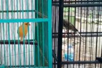 cara-menjodohkan -burung-kenari