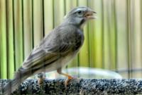 cara-merawat-burung-sanger
