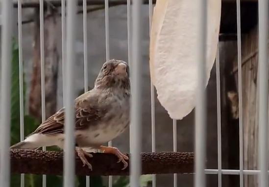 makanan-burung-sanger